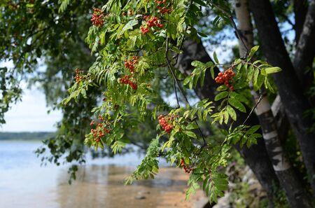 Red rowan berries on a green tree.. Stockfoto