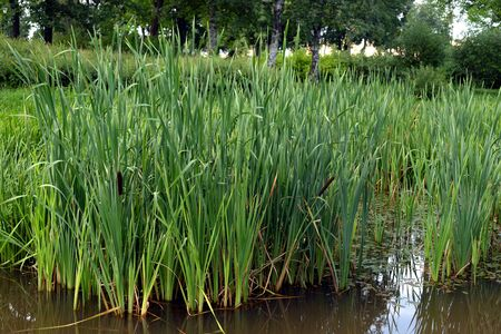 Sedge on the shore of the pond at summer day. Stockfoto