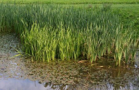 Wild ducks in a sedge thicket on lake at summer day.