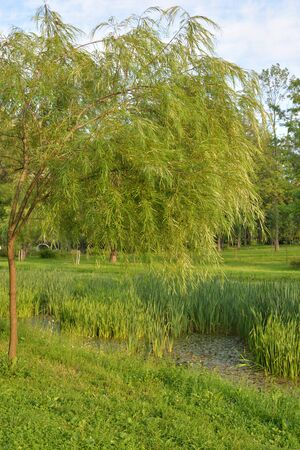 Willow tree in summer park by day.