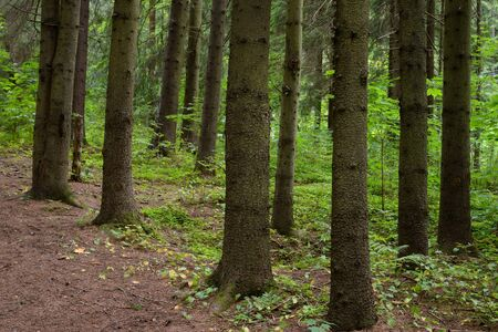 Pine forest at summer day in the Karelian Isthmus, Russia. Stockfoto