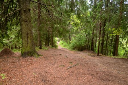 Pathway in pine forest at summer day in the Karelian Isthmus, Russia.