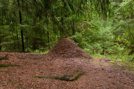 Big ant hill in the summer forest in the Karelian Isthmus, Russia. Stock Photo