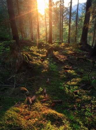 Amazing summer sunset in forest. Sun rays break through trees. Many cones on the grass.