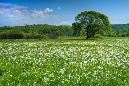 Beautiful weiv of lonely tree in narcissus valley in summer. Around a large number of amazing flowers Stock Photo