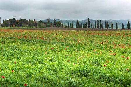 Poppy field in Toscana, Italy Фото со стока