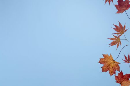 Autumn  composition. Red and golden maple  leaves on blue background. Flat lay, top view, copy space.