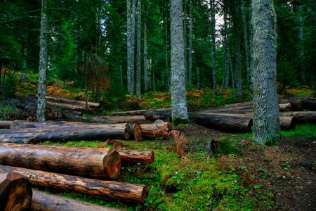 the woods of Pertouli, Greece Foto de archivo