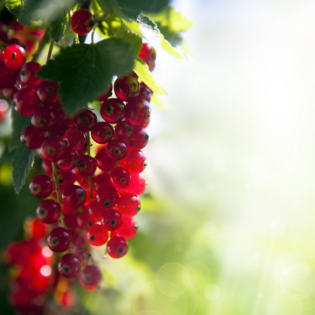 red currant berries illuminated rays of summer sun