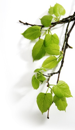 beech tree beech: Spring branch Stock Photo
