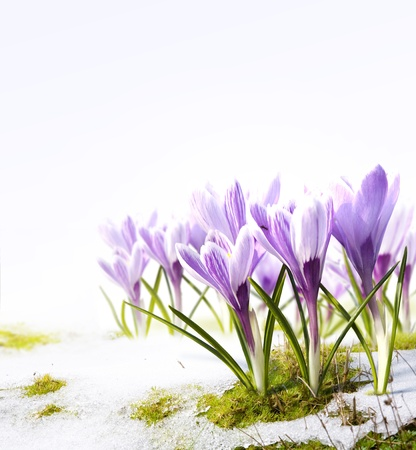 saffron: crocus flowers in the snow Thaw