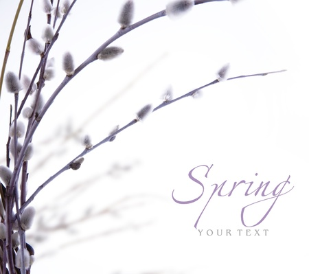 spring flowering branches of willow Stock Photo - 10541869