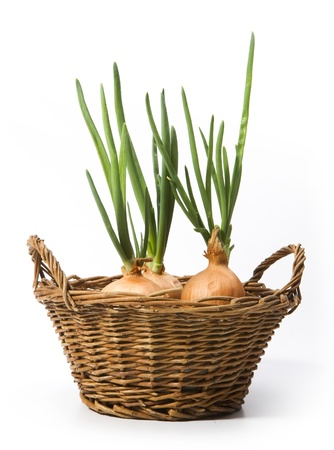 spring onions growing in the basket photo