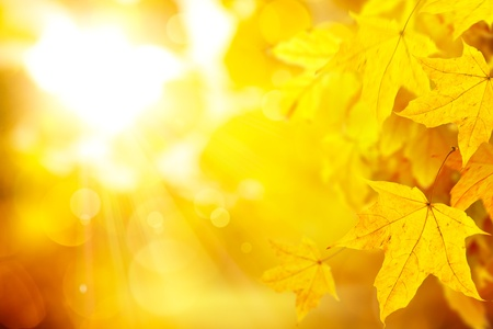 abstract background with yellow autumn maple leaves on the natural background Stock Photo - 10649090