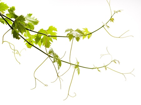 grapes on vine: Grape young green leaves on a white background