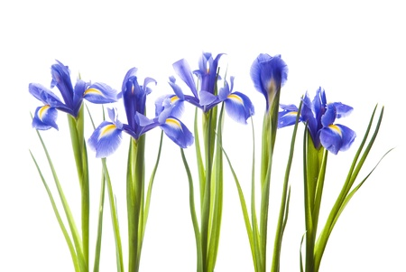 Bouquet of irises on a white background photo