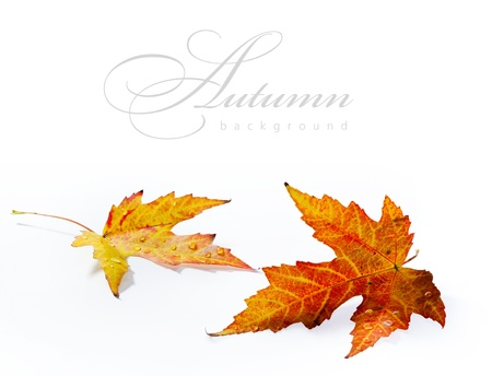 fall time: autumn wet maple leaf isolated on white background  Stock Photo