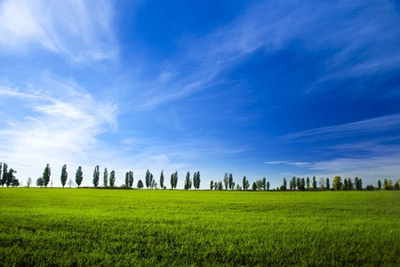 on the sky background: young field of winter wheat on blue sky background