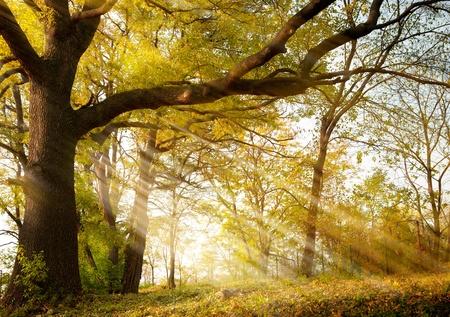 large trees: a huge old oak tree in autumn park lighted sun sunrise