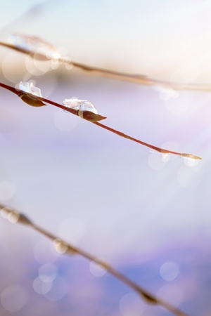 thawing: Abstract spring background with thawing snow in the spring of willow branches Stock Photo