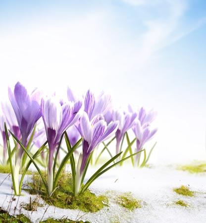 krokus: sneeuwklokjes krokus bloemen in de sneeuw Thaw