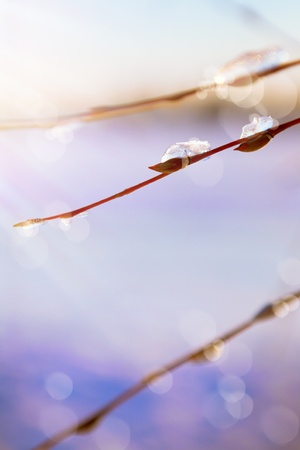 thawing: Abstract art spring background with thawing snow in the spring of willow branches Stock Photo