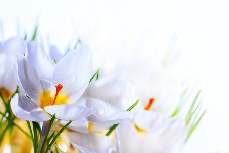 Art Beautiful Spring White crocus Flowers on white background photo