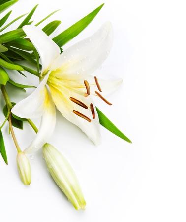 white lily: Flor de lirio aislado en un fondo blanco