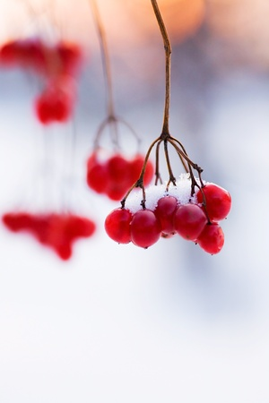 branch of red ripe berries in snow against the evening sky
