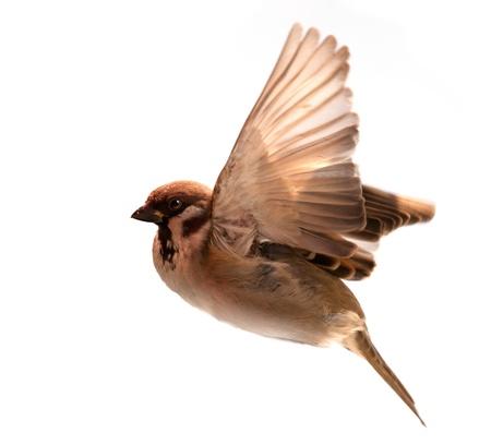 pajaros volando: gorri�n, p�jaro volando aisladas sobre fondo blanco Foto de archivo