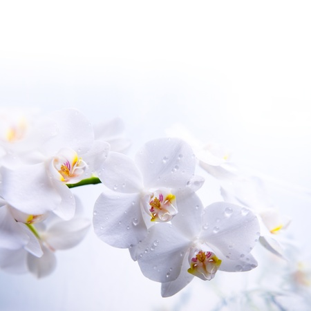 white spring orchid flower on the water photo
