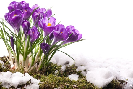 fresh snow: art Beautiful Spring Flowers  Stock Photo