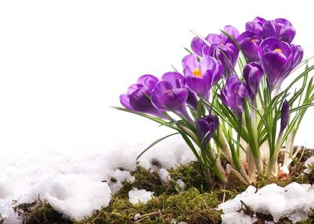 krokus: Mooie kunst Pasen Lente bloemen geà ¯ soleerd op witte achtergrond Stockfoto