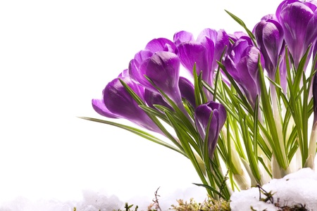 art Beautiful Spring Flowers in melting snow photo
