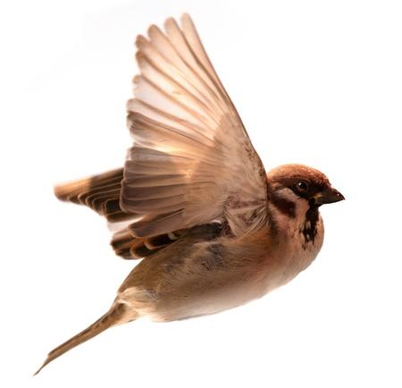 flying bird: flying  bird sparrow isolated on white background