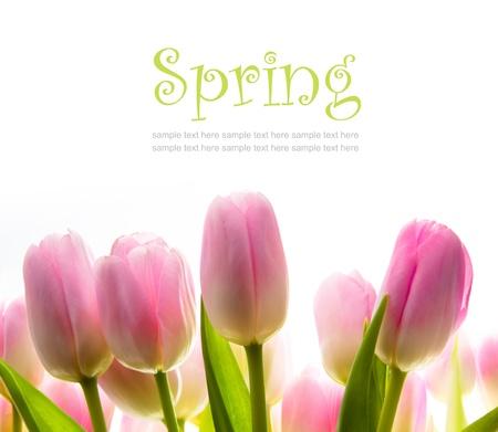 tulip spring flowers in the sunlight