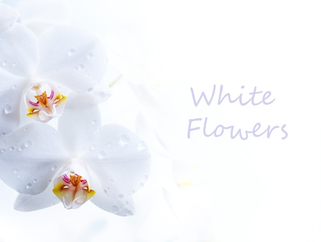spring white flower on white background photo
