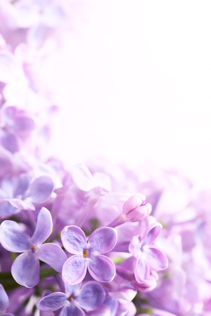 purple lilac: Spring flowers abstract background Stock Photo