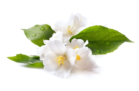 jasmine white flower isolated on white background Stock Photo - 13748291