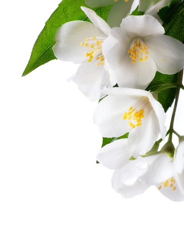 jasmine white flower isolated on white background photo