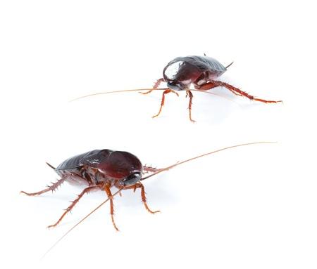 twain: couple Cockroach bug  isolated on white background