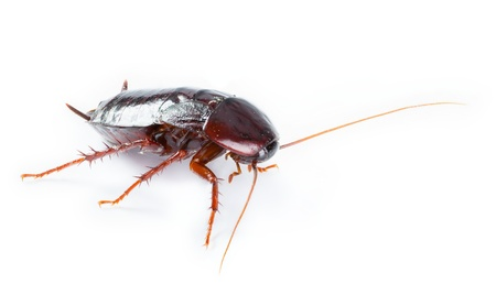 Cockroach bug  isolated on white background