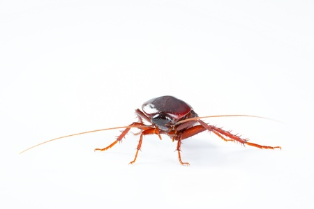roach: Cockroach bug isolated on white background Stock Photo