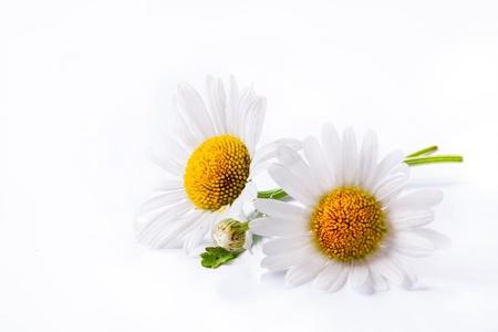 daisies summer  white flower isolated on white background photo