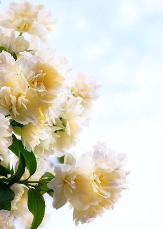 jasmine flowers on blue sky background photo
