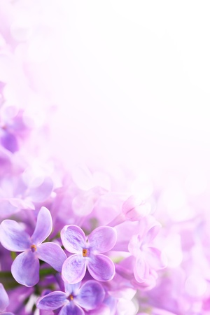 lilac background: Spring flowers abstract background Stock Photo