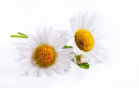 camomiles: daisies summer white flower isolated on white background Stock Photo