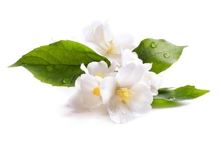 jasmijn witte bloem op een witte achtergrond Stockfoto