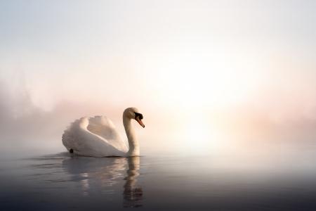 cisnes: Cisne que flota en el agua al amanecer del día