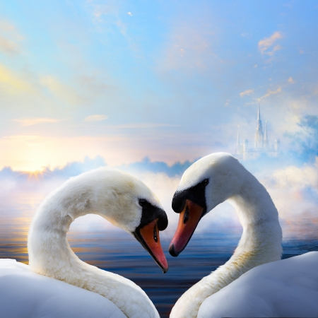 pair of swans in love floating on the water at sunrise of the day photo
